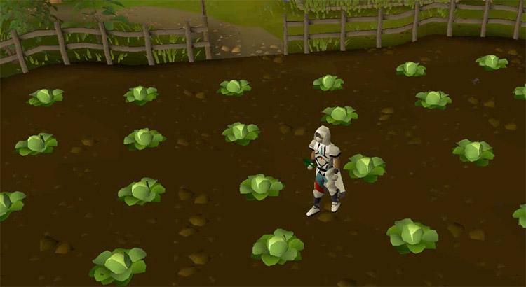 Farming herb field in OSRS